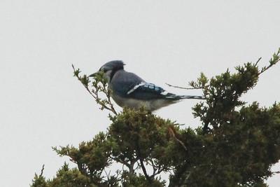 Blue Jay @ Wellfleet Bay WS