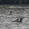 Loon Family  on the Lake