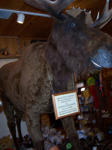 This is the only moose we saw in NH.  The rest must have been on vacation somewhere.