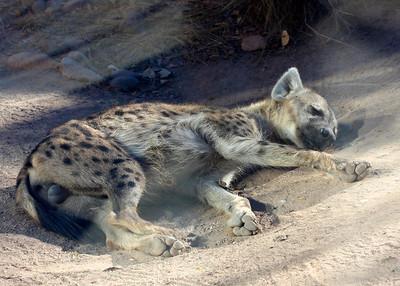 Giant hyena balls. Albequerque, NM.