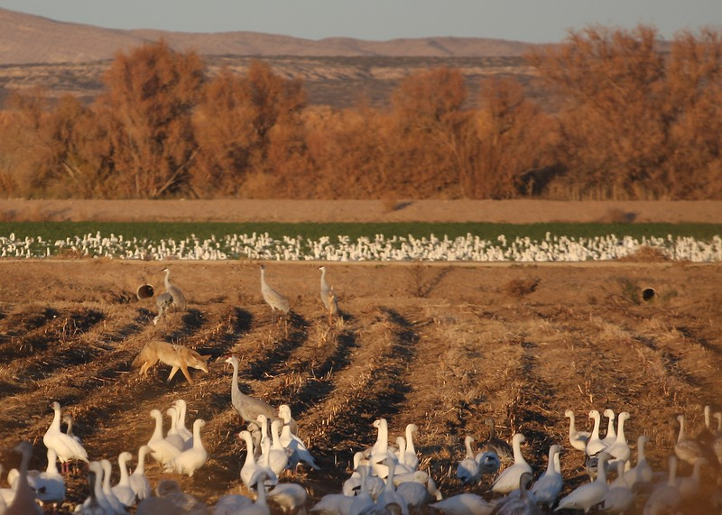 A day at the Bosque del Apache National Wildlife Refuge, New Mexico, for the Festival of the Cranes 2011.