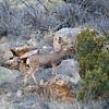 Mule Deer @ Bandelier NM