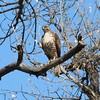 Red-tailed Hawk @ Bosque del Apache NWR