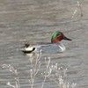 Green-winged Teal (Male) @ Bosque del Apache