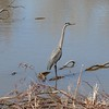 Great Blue Heron @ Bosque del Apache