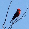 Vermillion Flycatcher (Male) @ Bosque del Apache