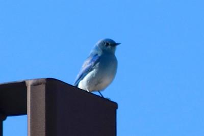 Mountain Bluebird @ Mesa Verde NP