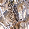 Long-eared Owl @ Coyote Springs Canyon