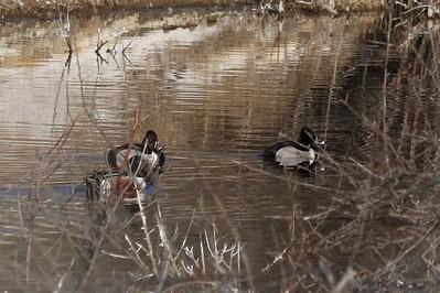 Ring-necked Ducks (Male) & Northern Shoveler (Male)