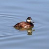 Ruddy Duck (Male) @ Bosque del Apache