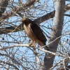 Red-tailed Hawk (Harlan's) @ Bosque del Apache