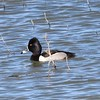 Ring-necked Duck @ Bosque del Apache