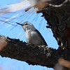 White-breasted Nuthatch [Interior West] @ Los Alamos Nature Center