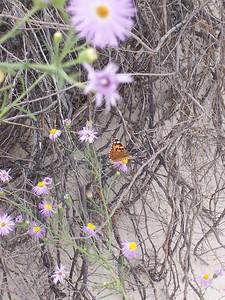 Day 4 - Dune flowers provide habitat for butterflies.