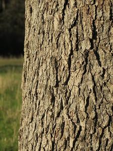 Detail of oak bark.