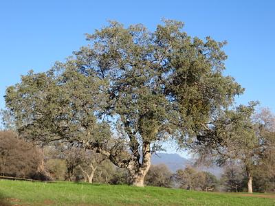 A mature oak.