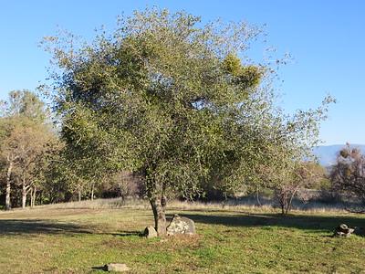Oak, with some mistletoe infestation.