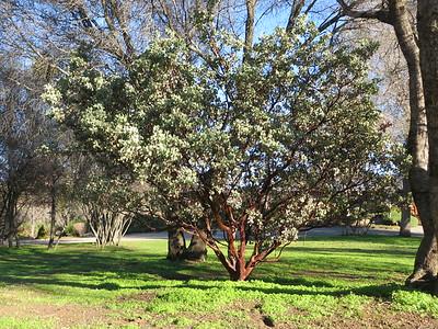Very beautiful manzanita on zendo grounds.