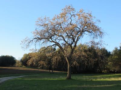 An oak with a much lighter mien.