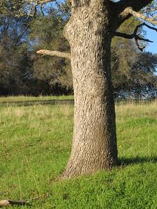 Stout trunk of an oak.