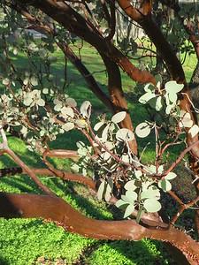 Closeup of manzanita foliage and bark.