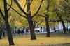 Gingko trees at Central Park.