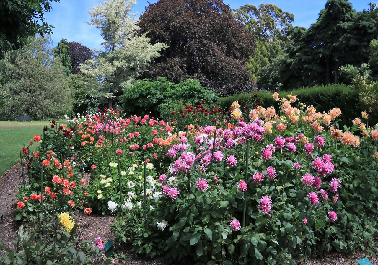 A large and long border of dahlias of all imaginable colors stretched a quarter of the way around the rose garden.