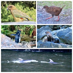 Critters of Milford Sound...A Kea, the world's only alpine parrot, The Weka is a flightless bird, a Crested Penguin (a little blurry in low light)...all are endangered species. We saw more Fur Seals and, of course, we saw lots of Dolphins having fun!