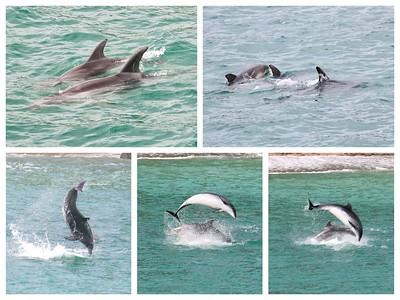 Fun watching a pod of Dolphins in the Bay of Islands!
