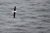 Day 3: Monday, 30 August 2010 - the Royal Albatross again.