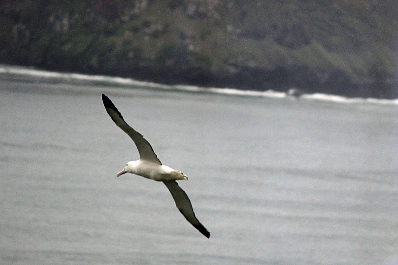 Day 3: Monday, 30 August 2010 - a Royal Albatross.