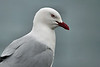 Day 3: Monday, 30 August 2010 - a red-beaked gull.