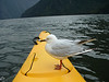 Seagull hitching a ride in Milford Sound