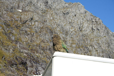 Kea parrot at the pass on the road to Muiford Sound.