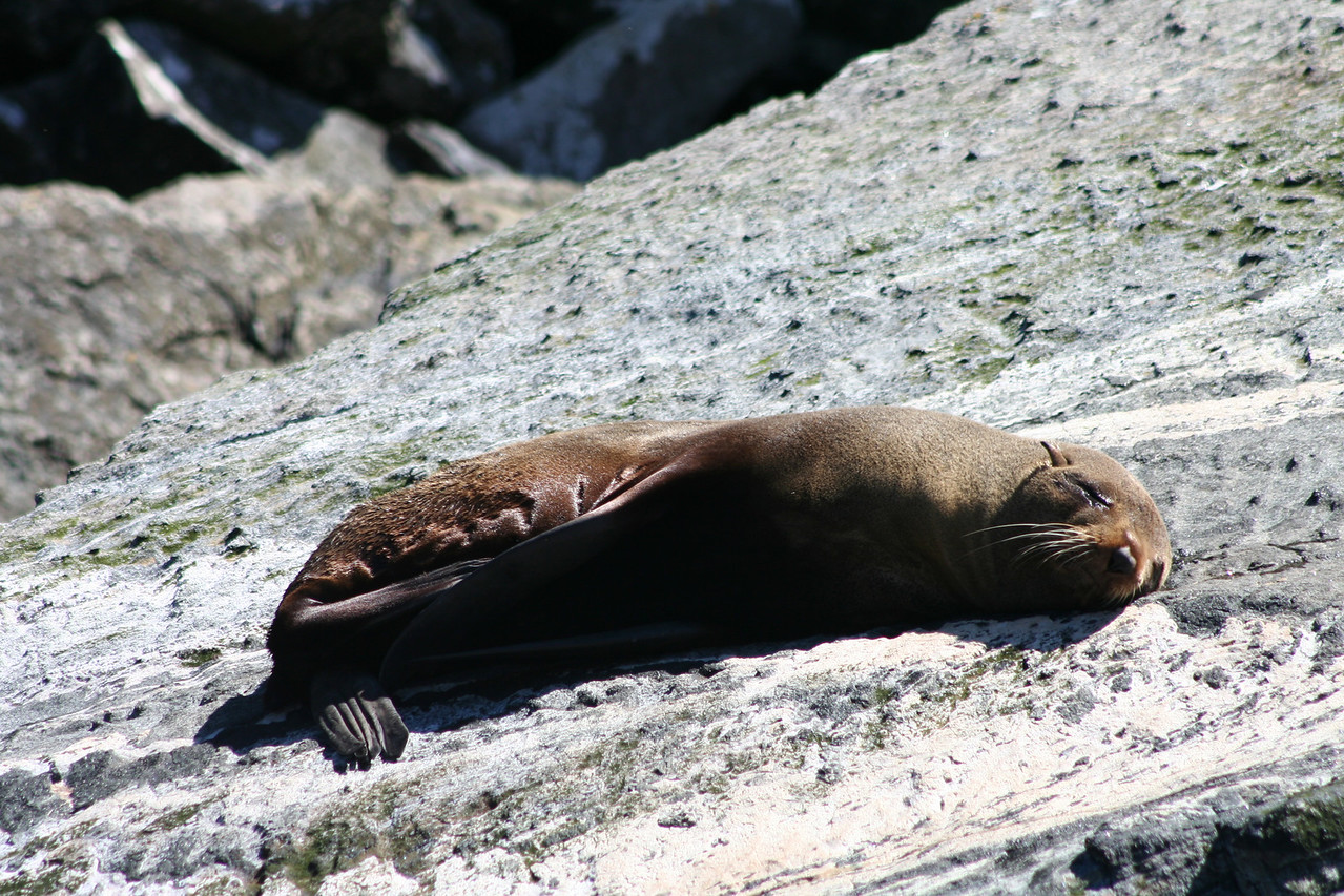 Sleeping fur seal in Milford Sound.