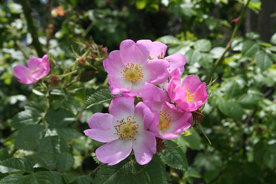 Lake Wanaka walk, these are rugosa roses.
