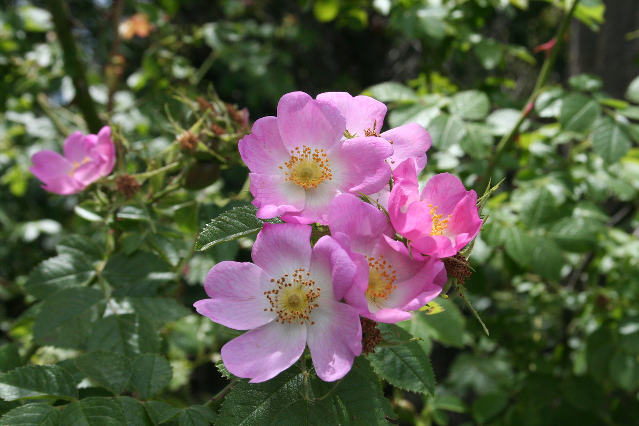 Lake Wanaka walk, these are rugosa roses.