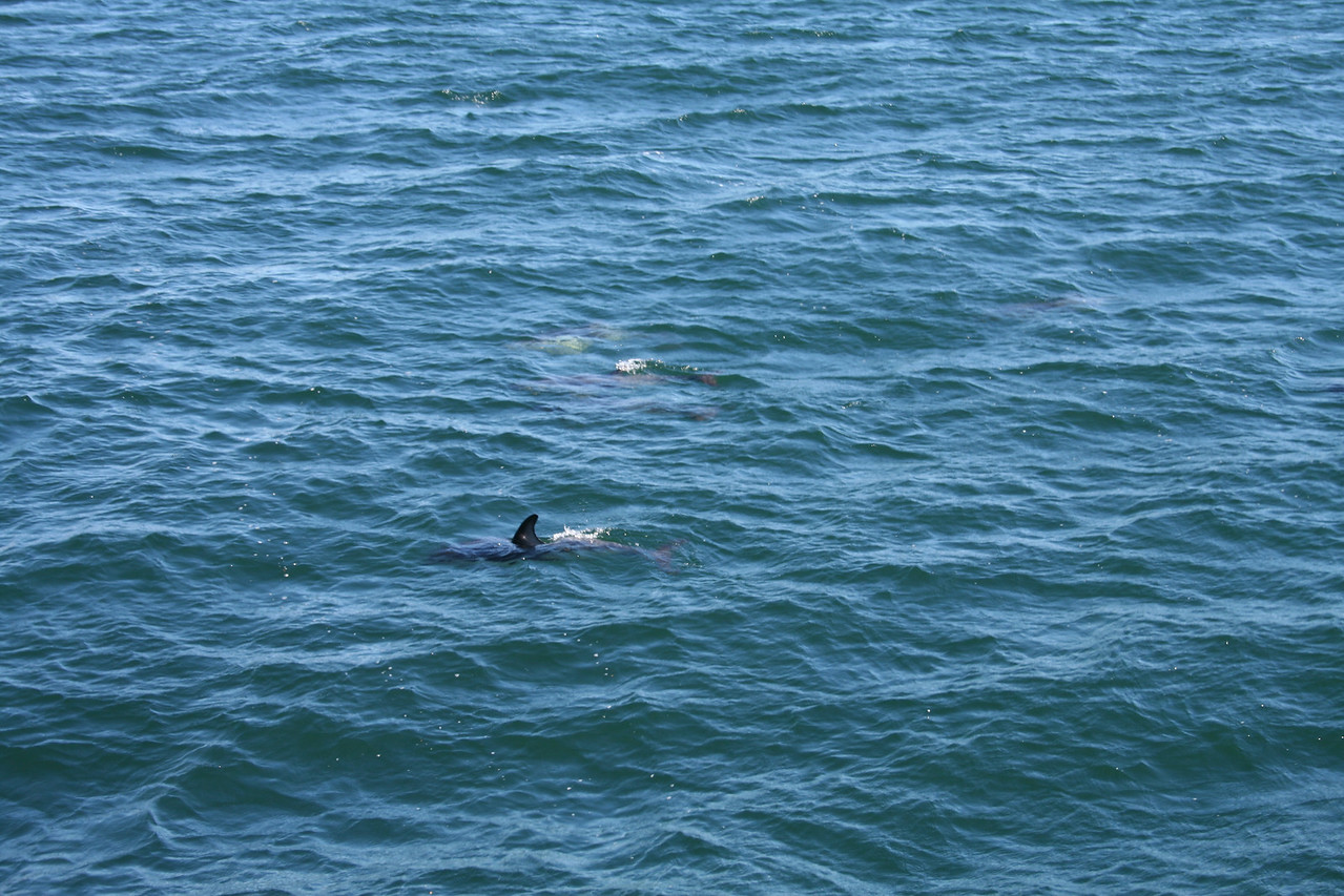 Spinner dolphins on the Tasman Sea outside of Milford Sound.