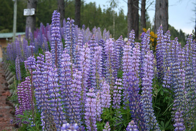 Lupins at the Lake Tekapo Campsite.