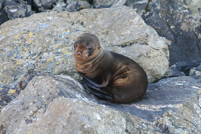 Fur seal Milford Sound.
