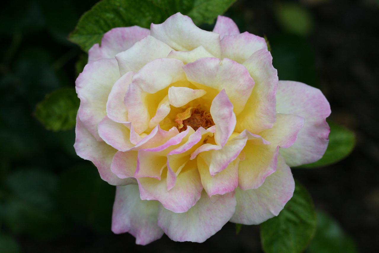 Rose in Jim Howes' back yard in Christchurch.