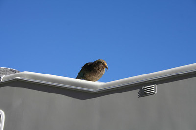 Kea Parrot being looking for trouble on the roof of the camper. Homer Tunnel.