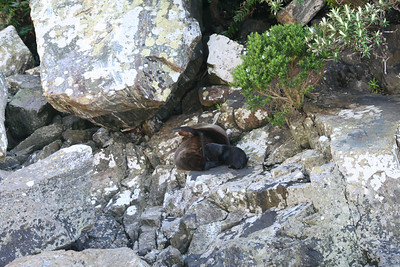 Mother and bay fur seal Milford Sound.