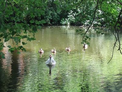 (photo by Robin) --- Duck, duck, grey duck!!!