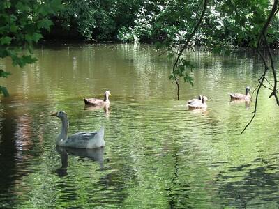 (photo by Robin) --- Duck duck grey duck again!!