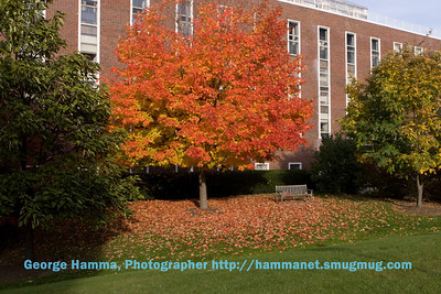 Dartmouth College in Hanover, NH and one of the trees providing a brilliant display.