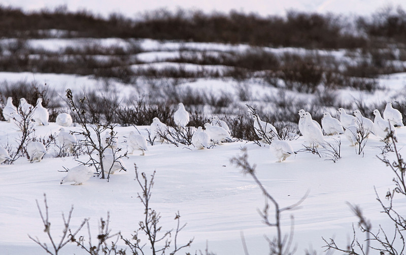 Cleverly camouflaged willow ptarmigan