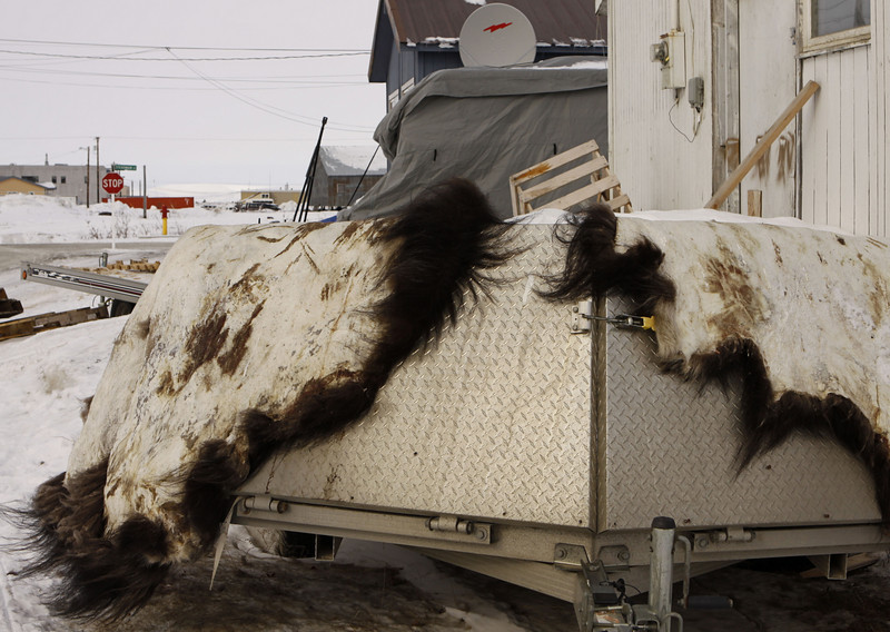 Curing musk ox hides