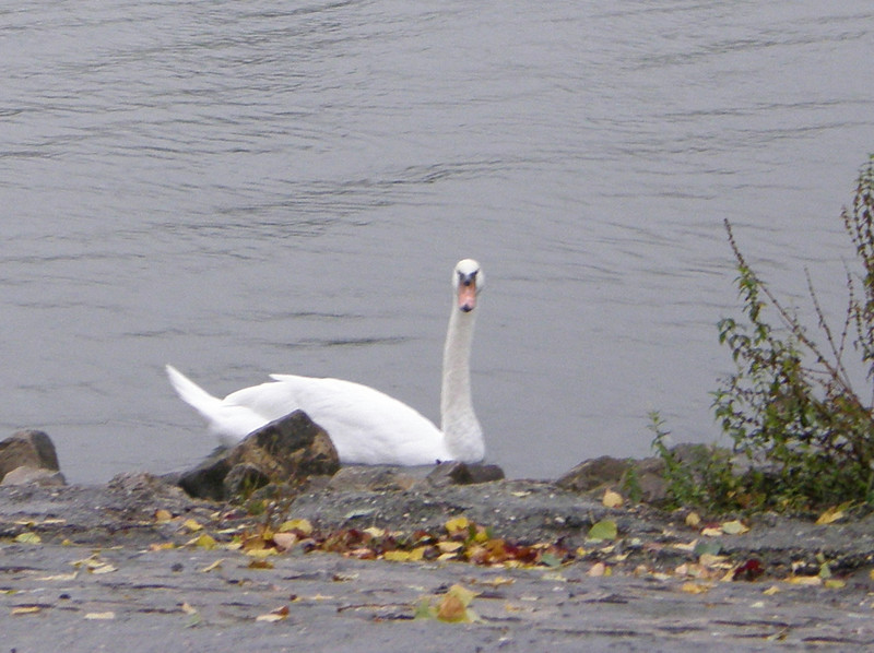 Swans on the Moselle River