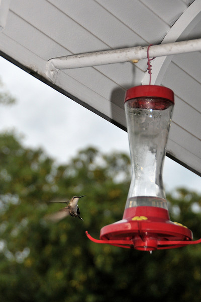 Here's one of the hummingbirds.  They seem a bid smaller than the ones out in Washington.    They come a few dozen times a day.